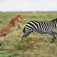 lion-chasing-zebra-fi_mini