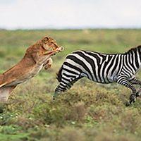 lion-chasing-zebra-fi_mini
